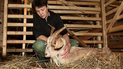 09.08.2021 Viehhalter aus Pfinztal/Wöschbach beklagen illegale Fütterung. Mehrere Tiere sind an Vergiftungen gestorben, darunter fast 20 Ziegenbabys. Wir erklären, warum es so gefährlich ist, Tiere wild zu füttern und welche Strafen darauf stehen. Frau Manuela Lingenfelser