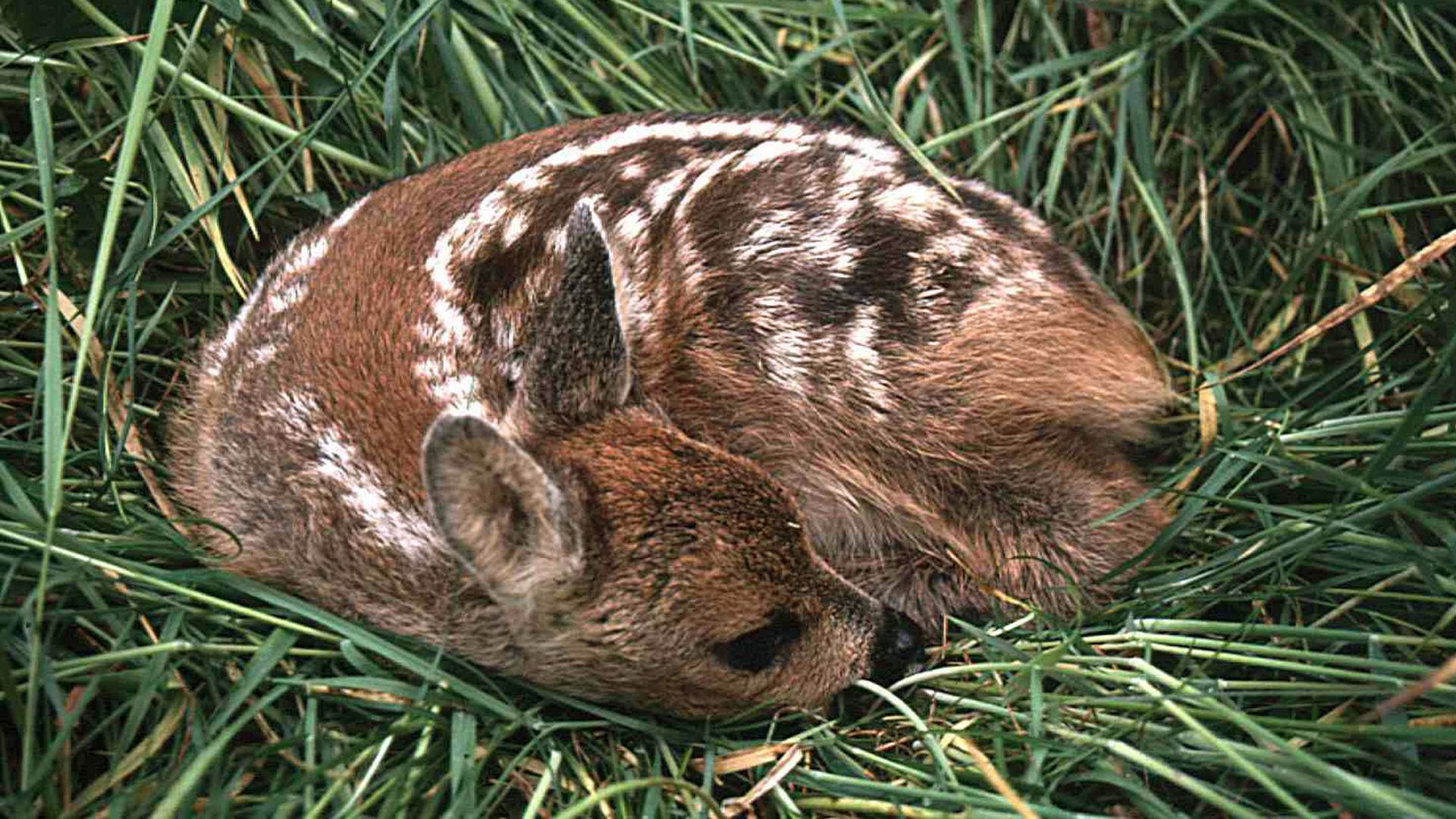 Schutzlos dem Mähwerk ausgeliefert liegt das Rehkitz im Gras. 90.000 Tiere sterben so jedes Jahr.