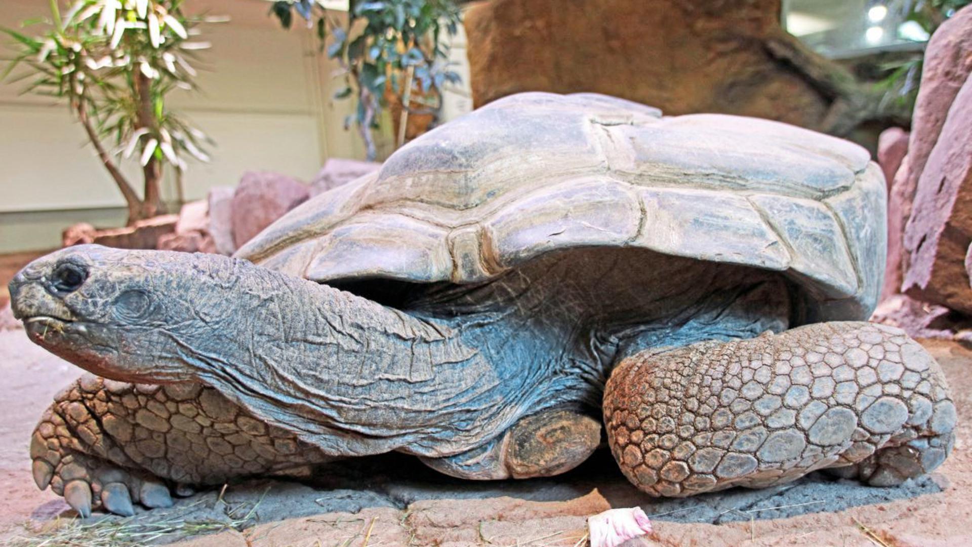 Der abgeflachte Panzer kennzeichnete die Riesenschildkröte Flunder. Mehr als 70 Jahre hatte die älteste Bewohnerin des Karlsruher Zoos auf dem rachitisch verkrümmten Buckel