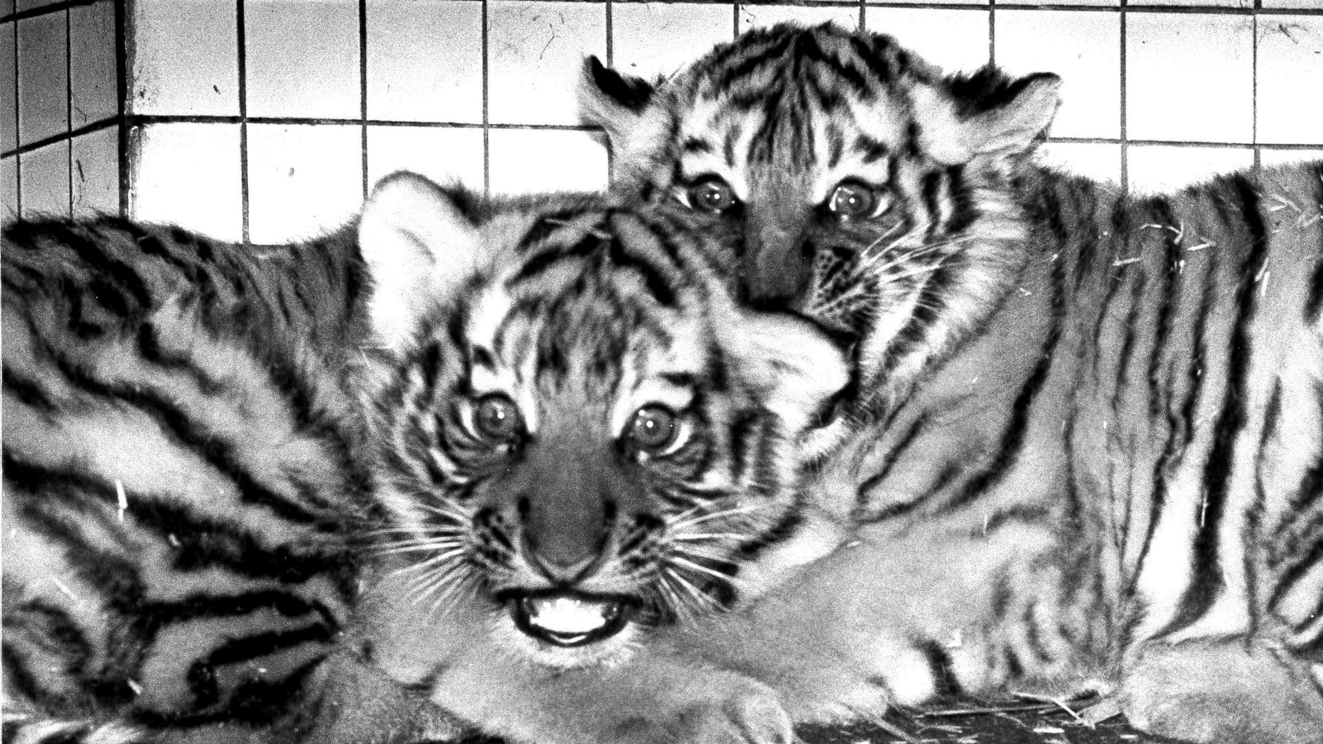 Zwei sibirische Tiger-Babys im Zoo Karlsruhe 1976