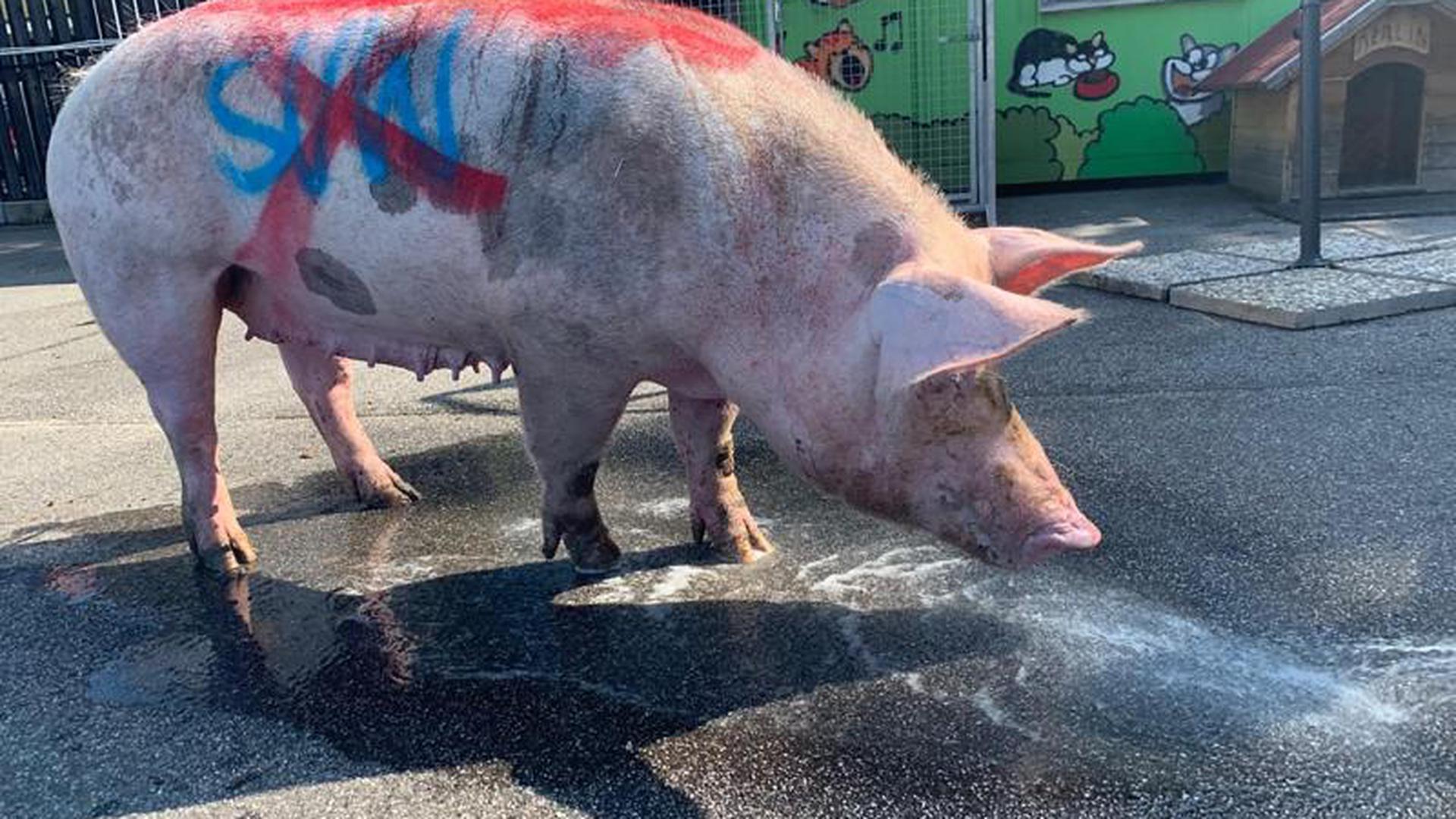Schwein mit Parole gegen Fußballclub besprüht