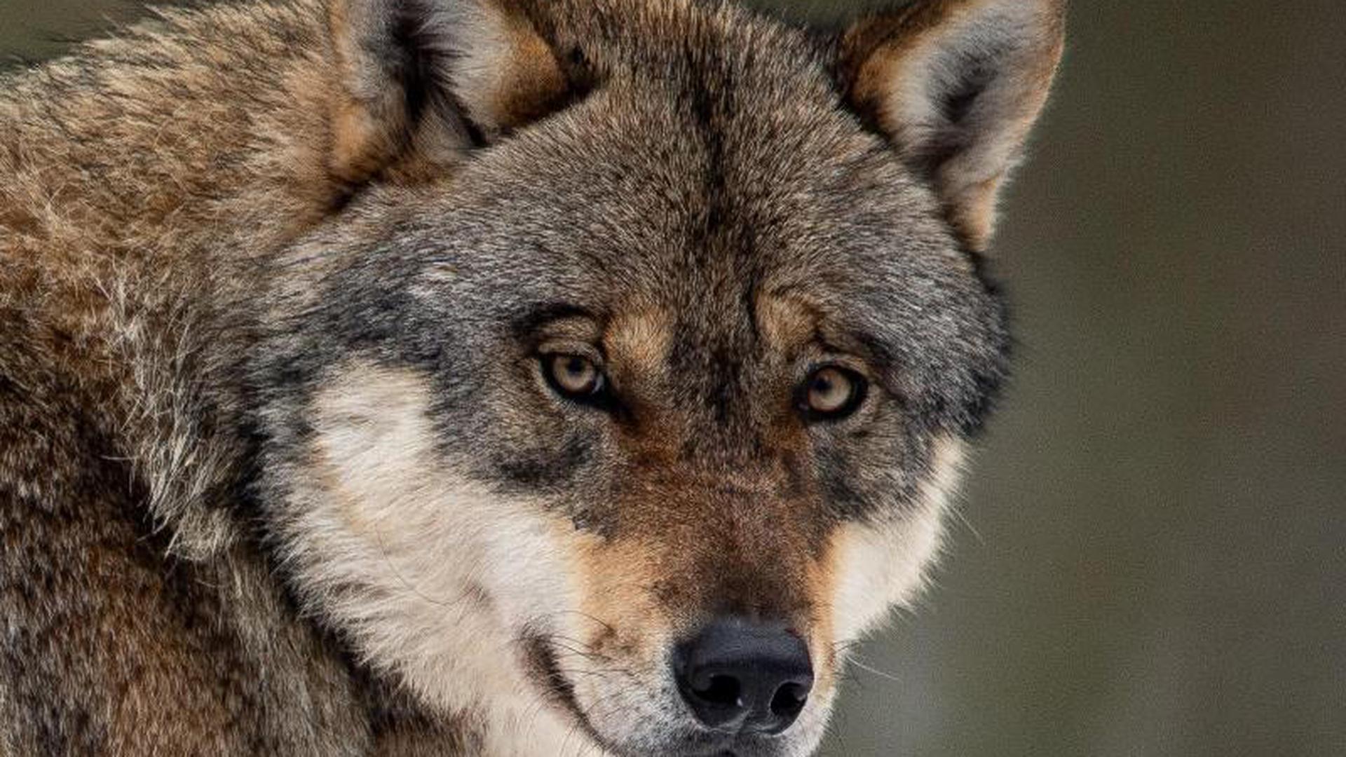 Wolf Sinsheim