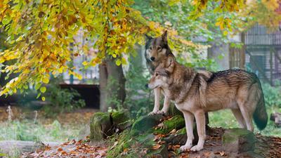 Zwei Wölfe stehen in ihrem Gehege.