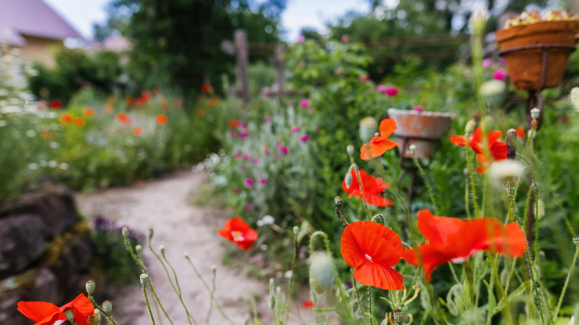 Klatschmohn blüht in einem Garten.