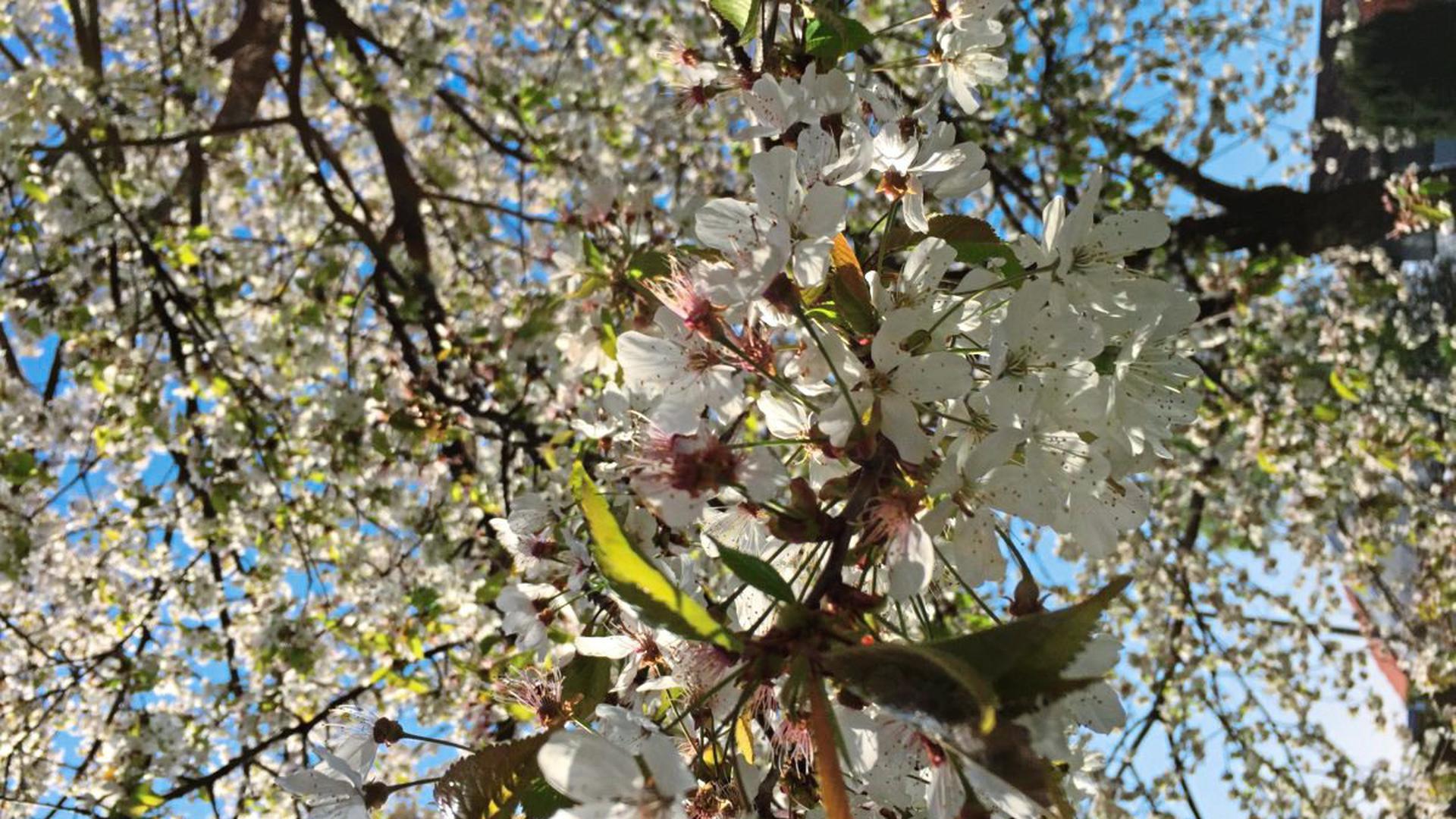 Ganz in weiß blüht die Vogelkirsche - wie hier in Neureut.