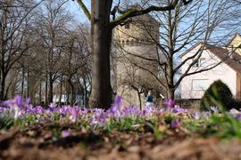 Nahender Frühling: Am Park beim Simmelturm sprießen die ersten Krokusse.