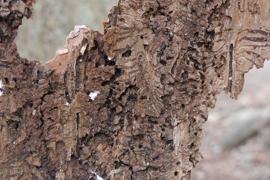 Borkenkäfer Frassspuren an der Rinde von einer Fichte.