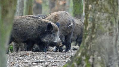 Wildschweine sind im Wald in Rotten unterwegs