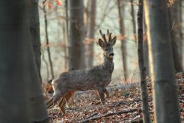 Rehbock im Wald