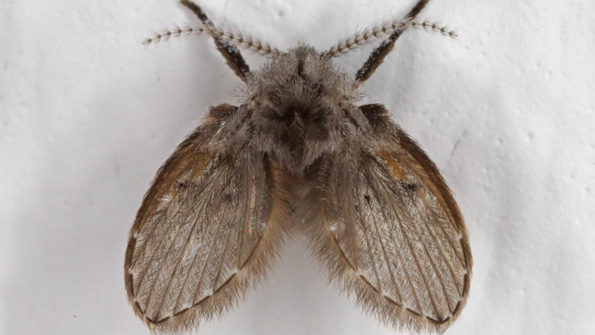 """Die Schmetterlingsmücke wird auch """"Clogmia albipunctata"""" genannt."""