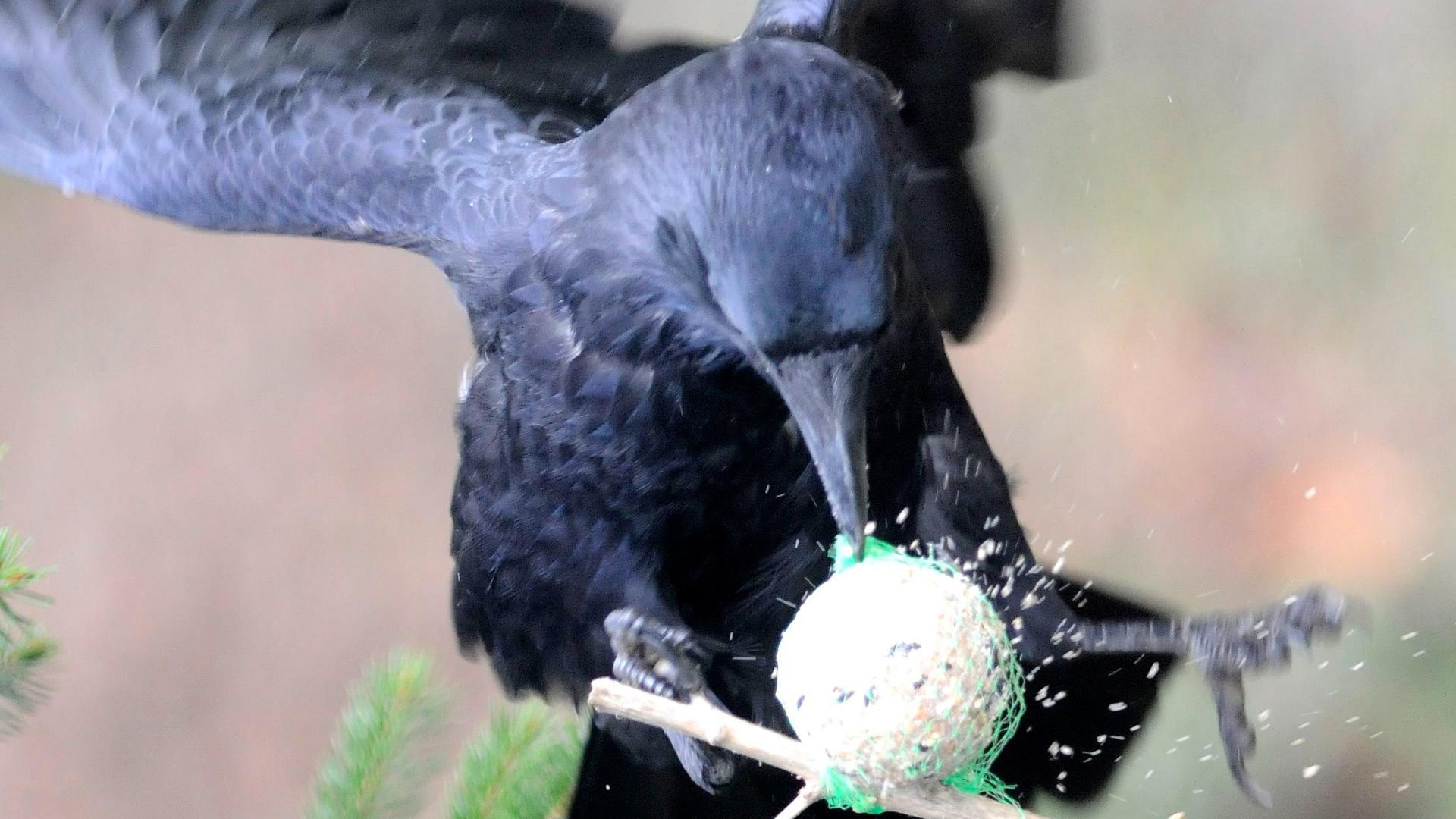 Rabenkrähen sind äußerst lernfähige Vögel.