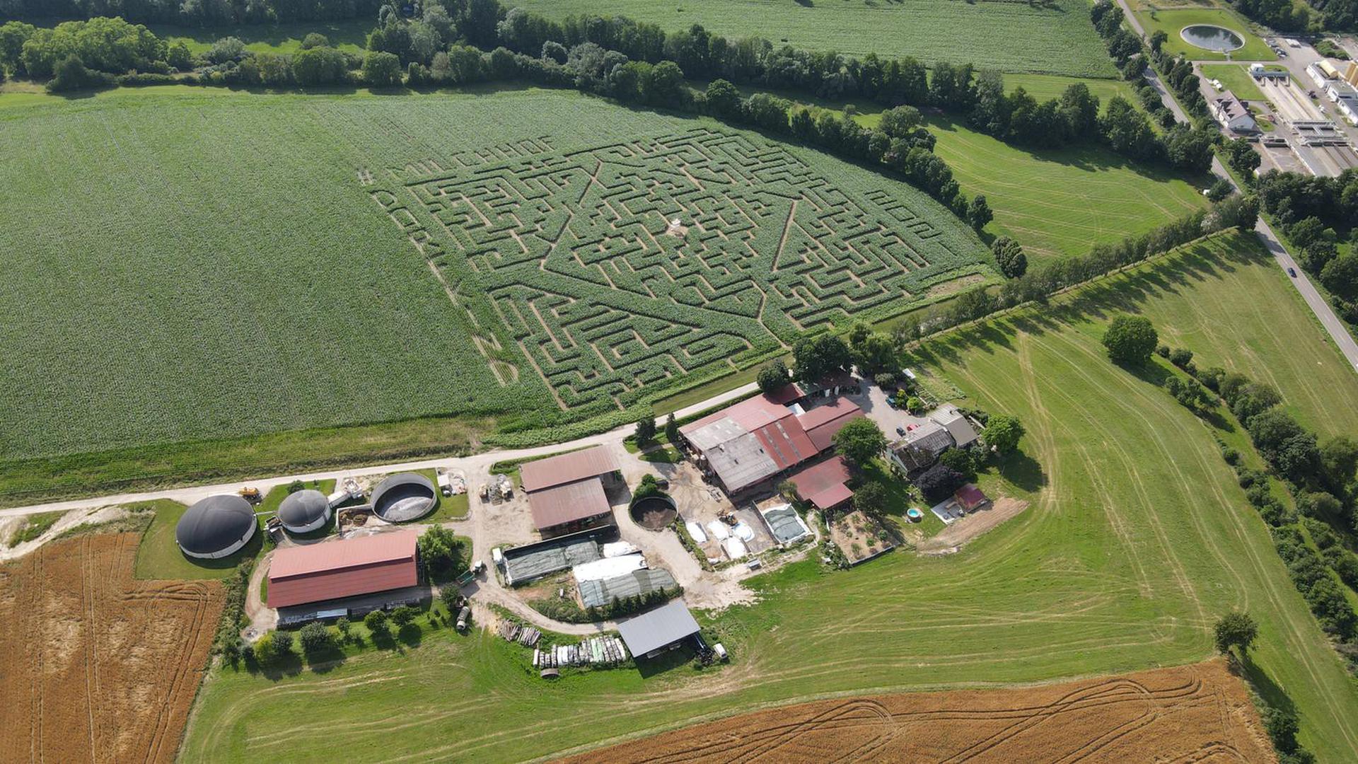 Das Maislabyrinth auf dem Flehinger Milchhof Lämmle-Hofmann.