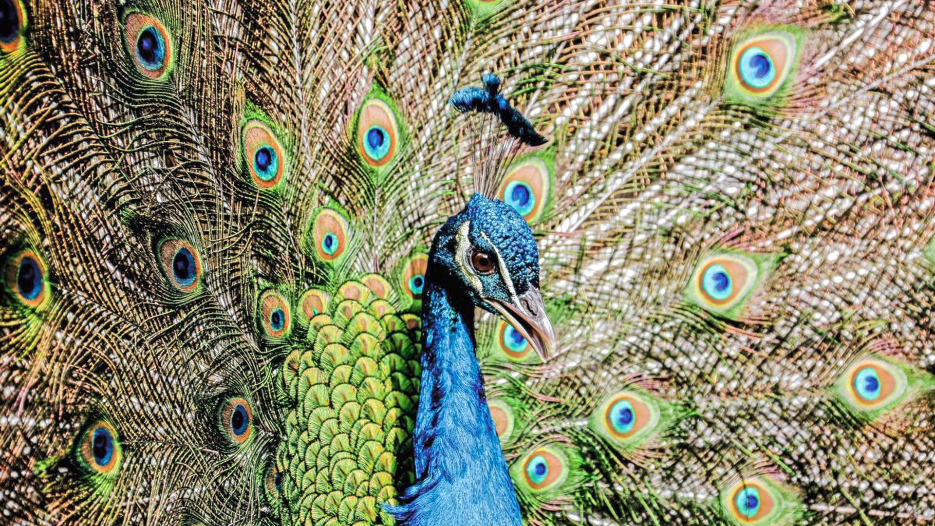 Auch wenn derzeit keine Besucher in den Brettener Tierpark dürfen, präsentieren die Pfaue ihre leuchtenden Federkleider und versuchen damit im Gehege ihre Mitbewohner wie die Maras, Nandus und Hühner zu beeindrucken.
