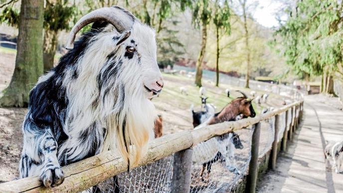 Der Ziegenbock versucht sich als Zaungast – Besucher kann er damit aktuell aber keine beeindrucken.