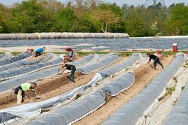 Erntehelfer auf Feldern des Spargelhofs Schreiber, Wiesental, Frühjahr 2020