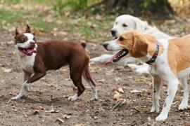 Drei Hunde spielen auf der Hundewiese im Volkspark Friedrichshain miteinander. Garantierter Auslauf, ausreichend Betreuungszeit für Welpen: Bundeslandwirtschaftsministerin Klöckner (CDU) will strengere Regeln für Tiertransporte und Hundezüchter erlassen. Tierschutz- und Hundehalterverbände begrüßen den Vorstoß grundsätzlich. Für einige könnte er aber noch weiter gehen. +++ dpa-Bildfunk +++