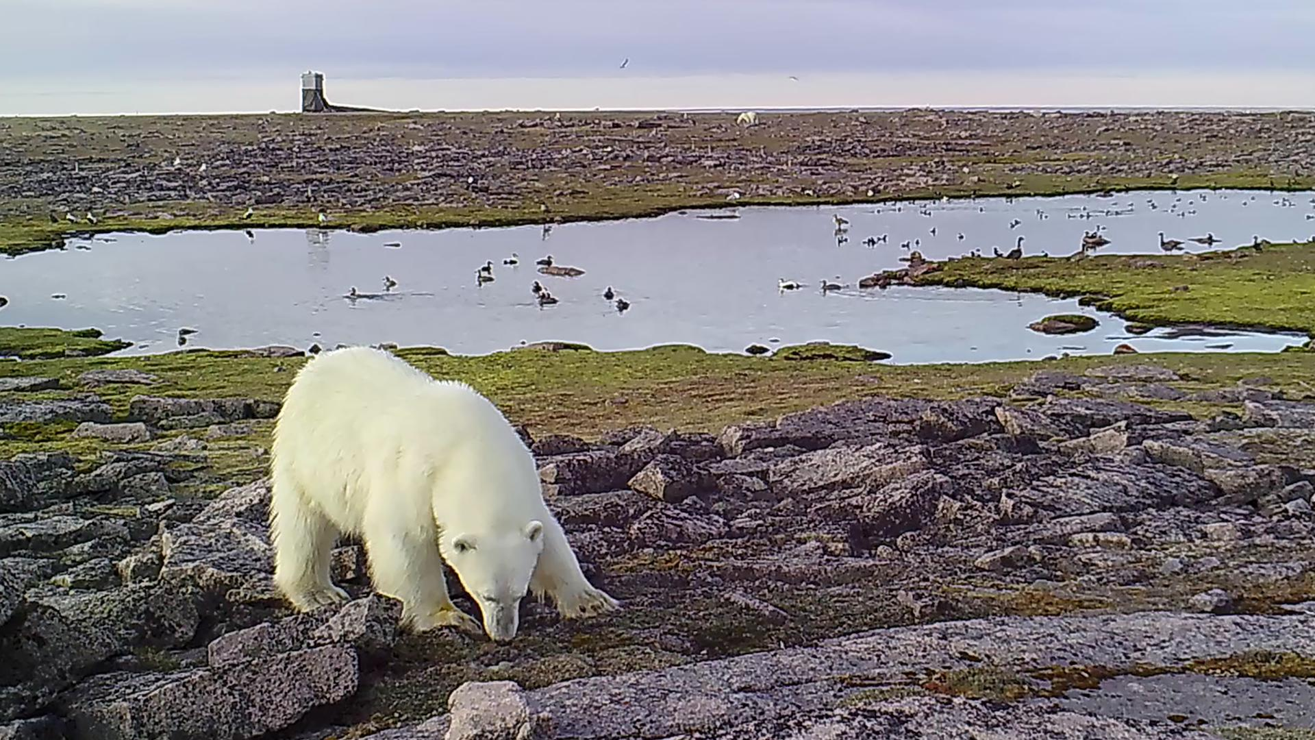 Ein Eisbär sucht nach Futter (Aufnahmedaten unbekannt).