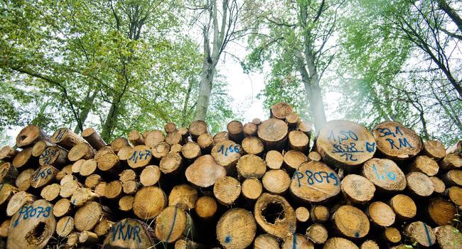 Abgeholzte Buchen liegen im Waldgebiet Hohnstedter Holz. Die extreme Dürre vom Vorjahr und anhaltende Trockenheit lassen viele Buche sterben. Herabfallende marode Äste stellen für Waldbesucher erhebliche Gefahren dar. Die Niedersächsische Landesforsten fällt derzeit viele Bäume im Hohnstedter Holz, bei denen nicht mehr eine Genesung zu erwarten ist. +++ dpa-Bildfunk +++