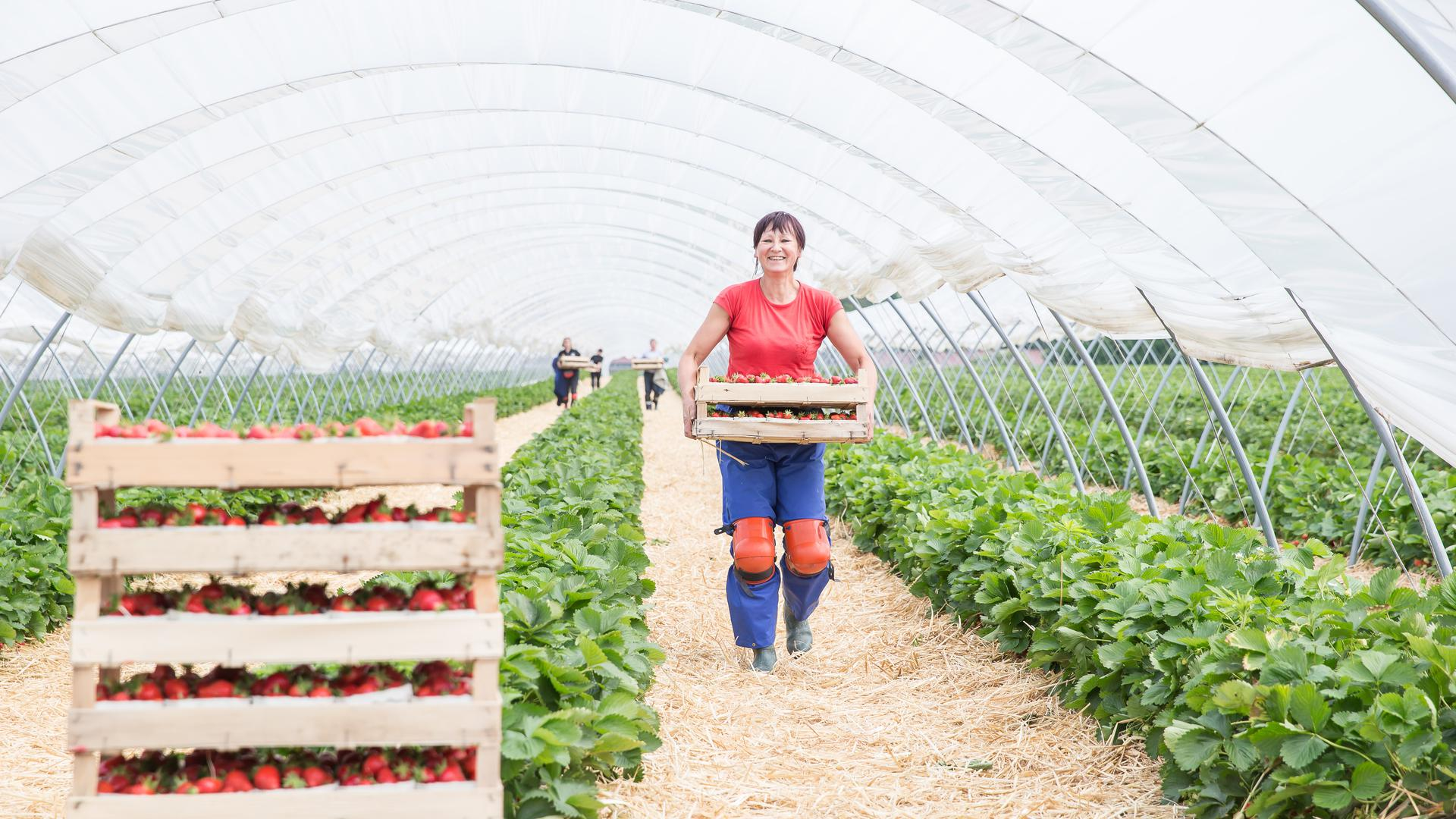 Heller Hochtunnel für Erdbeeren
