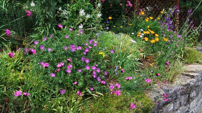 Blühbeet mit heimischen Arten an Trockenmauer