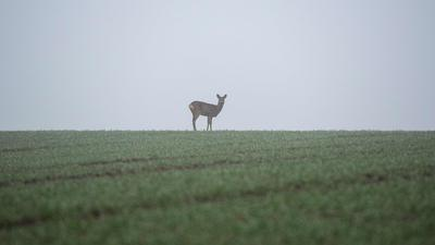 Ein Reh steht bei Nebel auf einem Feld.