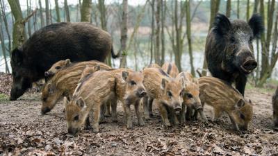 Wildschweine suchen in einem Waldgebiet den Boden nach Futter ab.