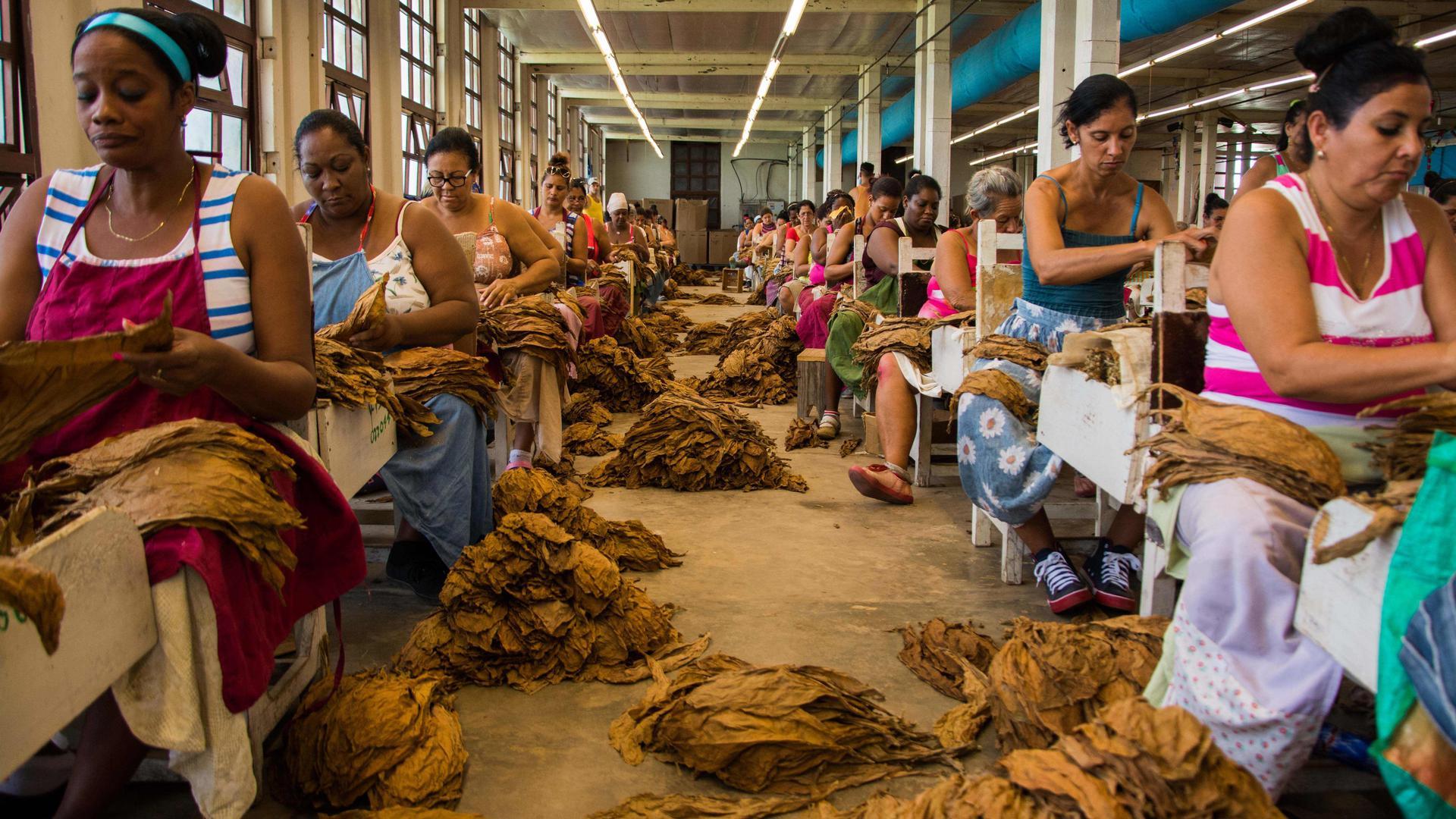 04.07.2018, Kuba, Pinar del Rio:Frauen und Männer bearbeiten trockene Tabakblätter in einer Fabrik. Kuba hat 2017 Zigarren im Wert von 500 Millionen US-Dollar (406 Mio Euro) verkauft. Damit stieg der Absatz um zwölf Prozent im Vergleich zum Vorjahr. 54 Prozent der Exporte gingen 2017 nach Europa, gefolgt von Lateinamerika und Kanada mit 17 Prozent und Asien mit 15 Prozent. Foto: Rafael Fernández Rosell/ACN/dpa +++ dpa-Bildfunk +++ |