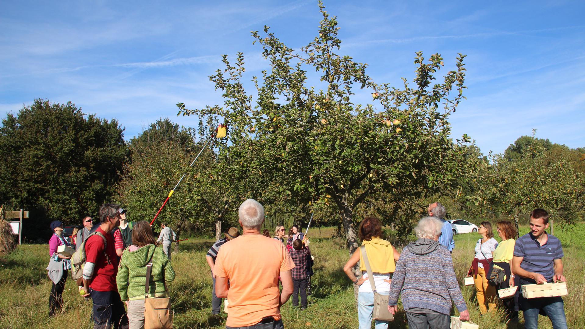 Im Obst-Gen-Garten konnten die Teilnehmer an der Bad Schönborner Apfelwoche selbst Obst ernten