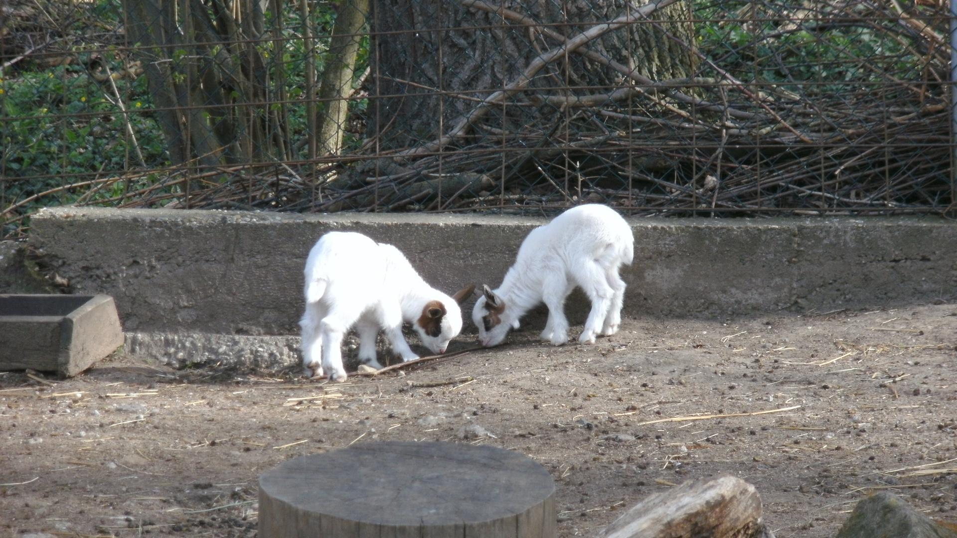 Zwei Neugeborene Ziegen im Tierpark Bad Schönborn