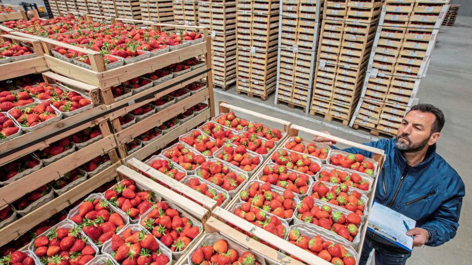 Stapeln, prüfen und transportieren: Die Obst- und Gemüse-Absatzgenossenschaft Nordbaden liefert Erdbeeren an Lebensmitteleinzelhandels-Konzerne und an Großmärkte – bis nach Hamburg.