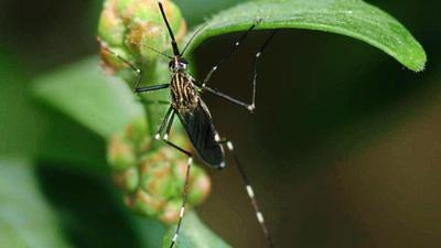 Die Buschmücke hat weiße Ringelungen, die Beine sind am Ende dunkel.