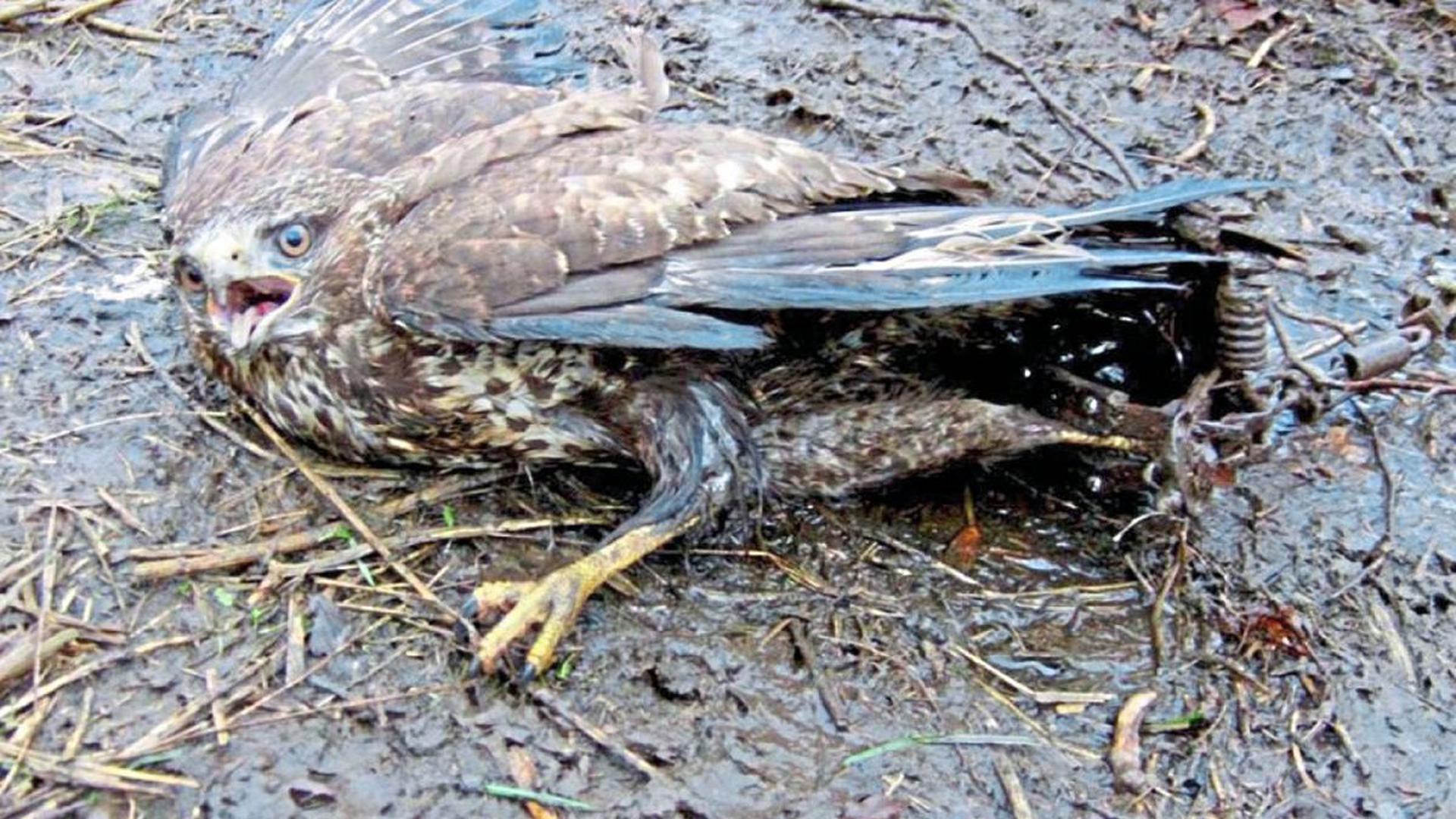 Gefangen in einem Tellereisen ist dieser Bussard. Die Greifvögel sterben öfter auch durch vergiftete Köder am Boden.
