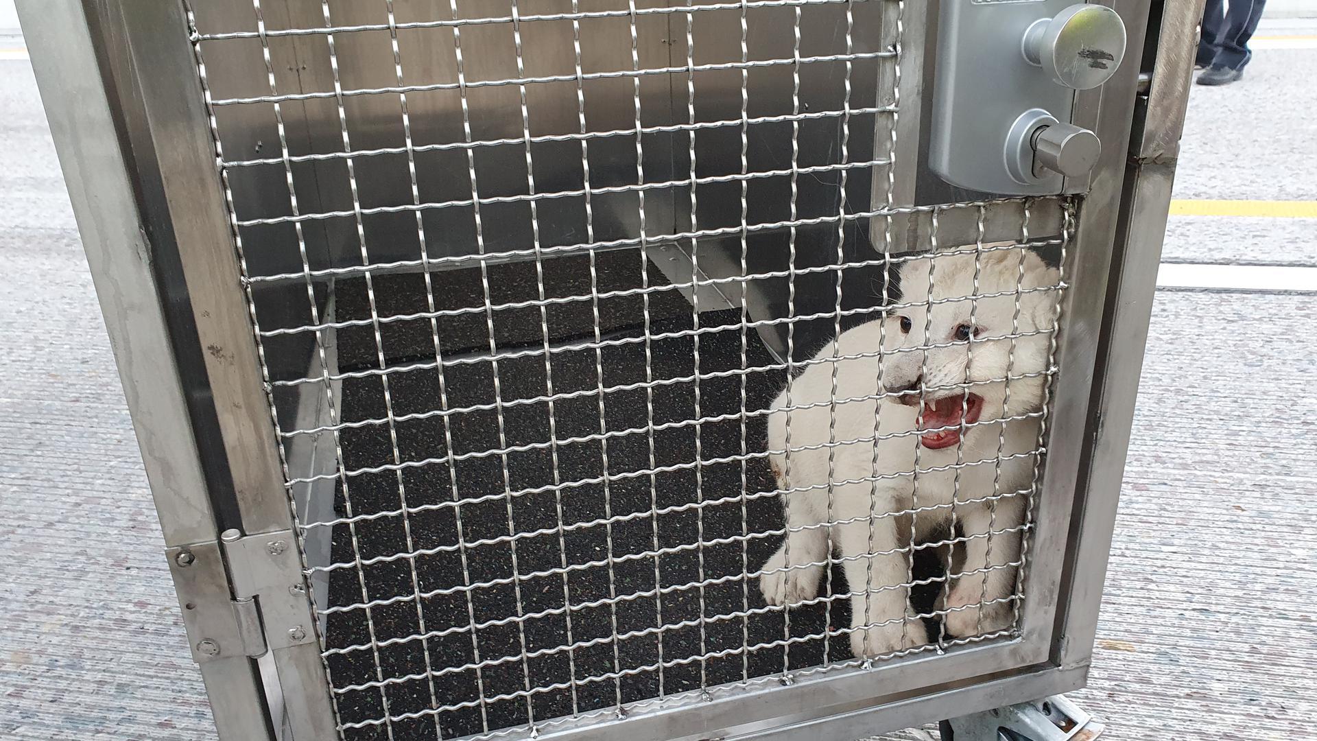 Ein kleiner weißer Löwe sitzt in einem Käfig.