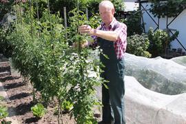 Der Wiesentaler Fachwart für Obst- und Gartenbau hat seine Tomaten nicht abgedeckt und schützt das Gemüse mit feinmaschigen Netzen.