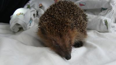 Igelopa Henry kam vergangene Woche krank und abgemagert in die Igelstation. Sobald er wieder bei Kräften ist, darf er in sein Revier zurück.