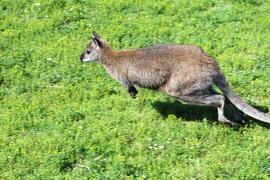 Ausgehüpft, abgehauen oder gar befreit: Dieses Tier war eigentlich auf einem Hof in Wiesental heimisch. Doch jetzt ist das Känguru spurlos verschwunden.