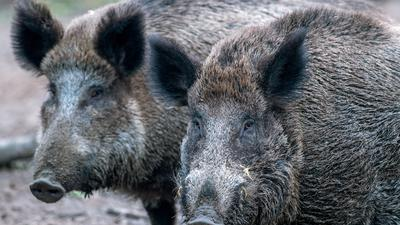 ARCHIV - 27.01.2018: Wildschweine stehen in einem Wildgatter. (zu dpa «Grünes Licht für Wildschwein-Zaun an deutsch-dänischer Grenze» vom 04.06.2018) Foto: Jens Büttner/dpa-Zentralbild/dpa +++ dpa-Bildfunk +++