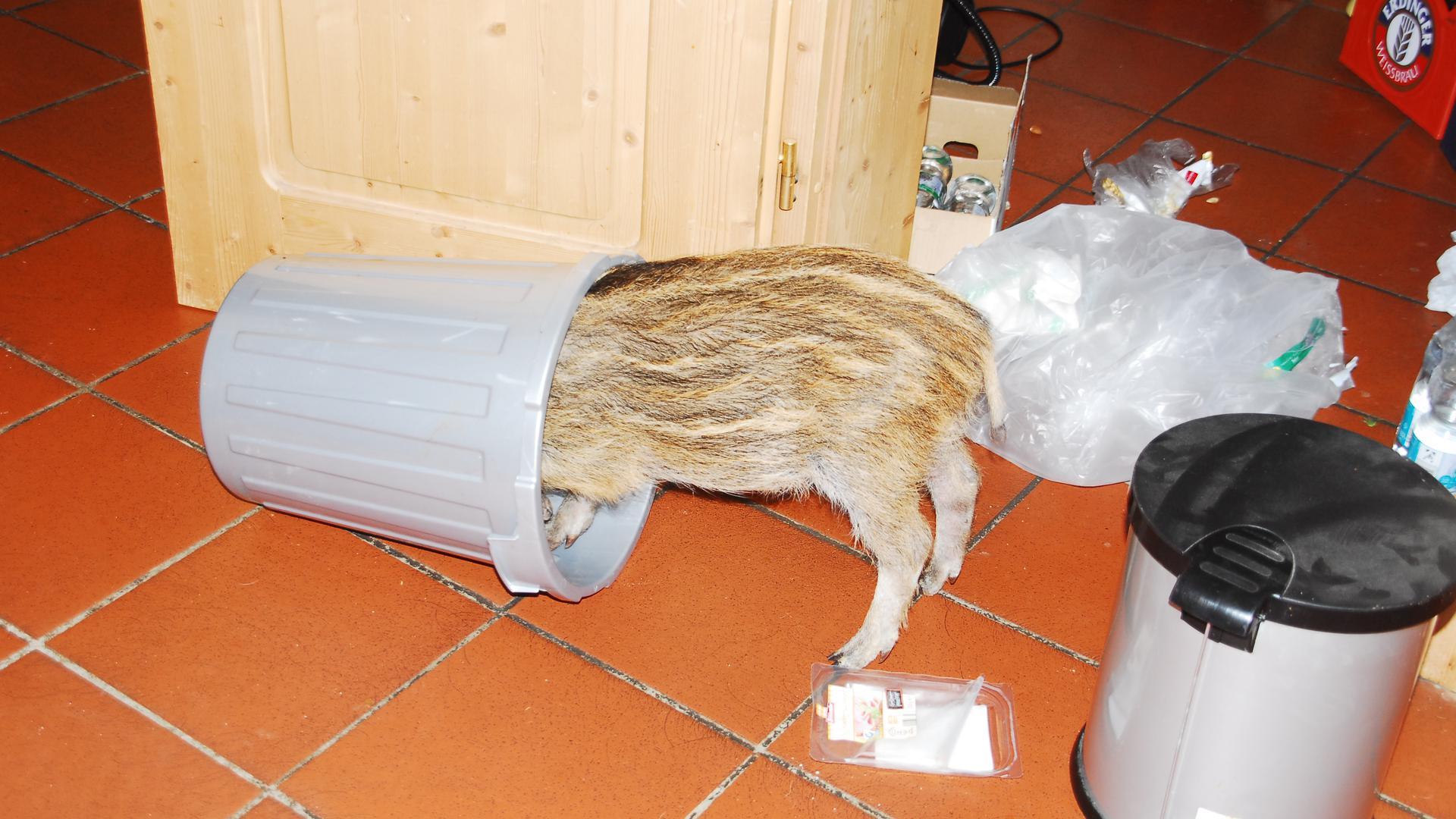 Ein Wildschwein stöbert im Müll.