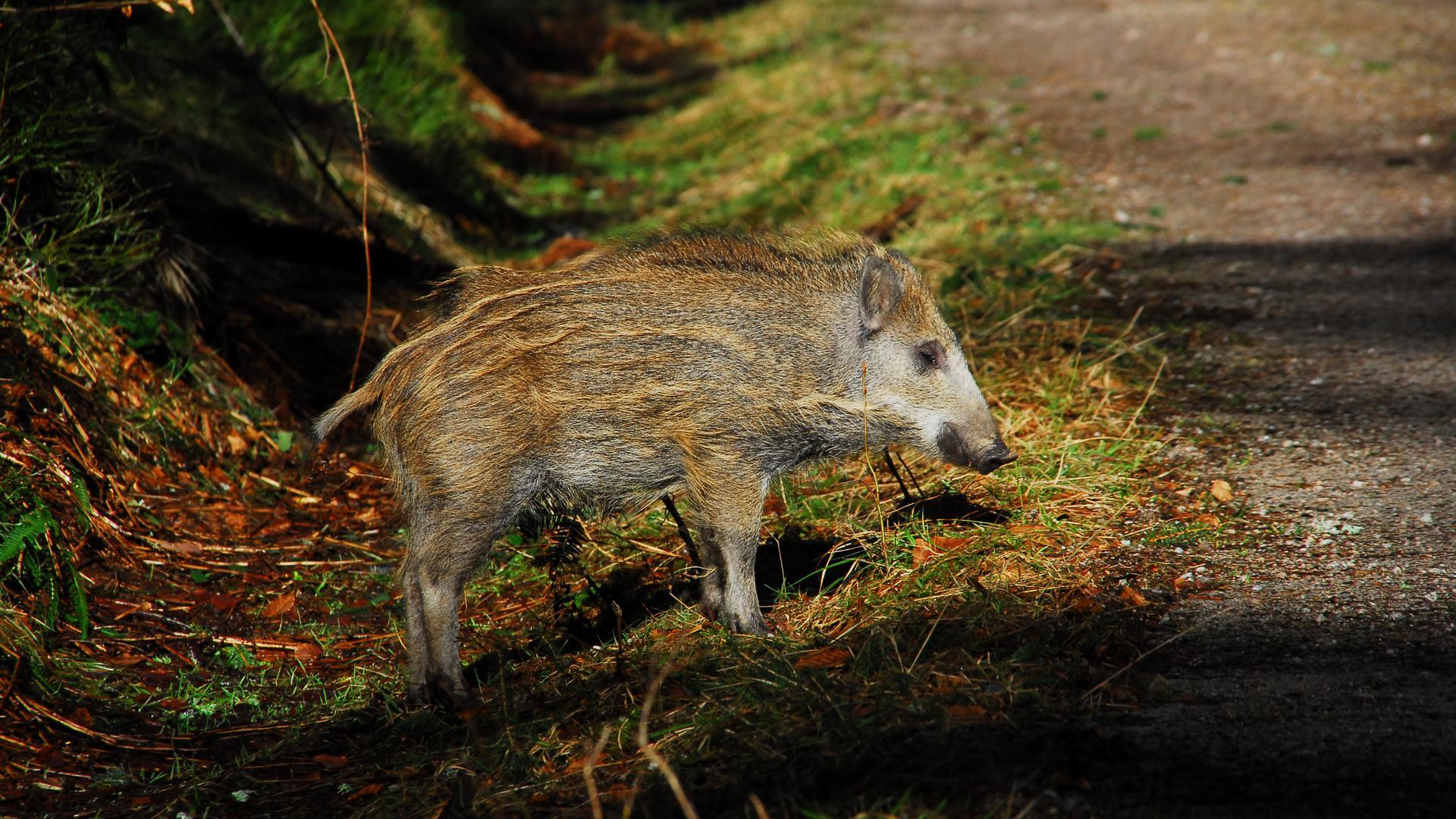 Ein Wildschwein steht auf einem Waldweg