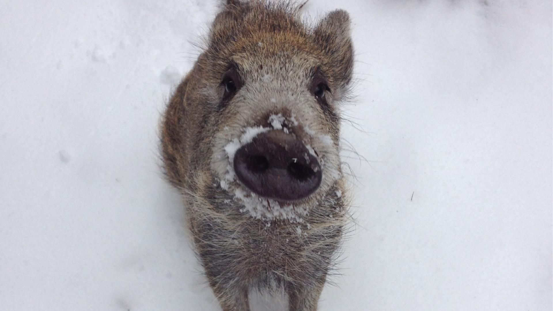 Ein Wildschwein im Schnee.