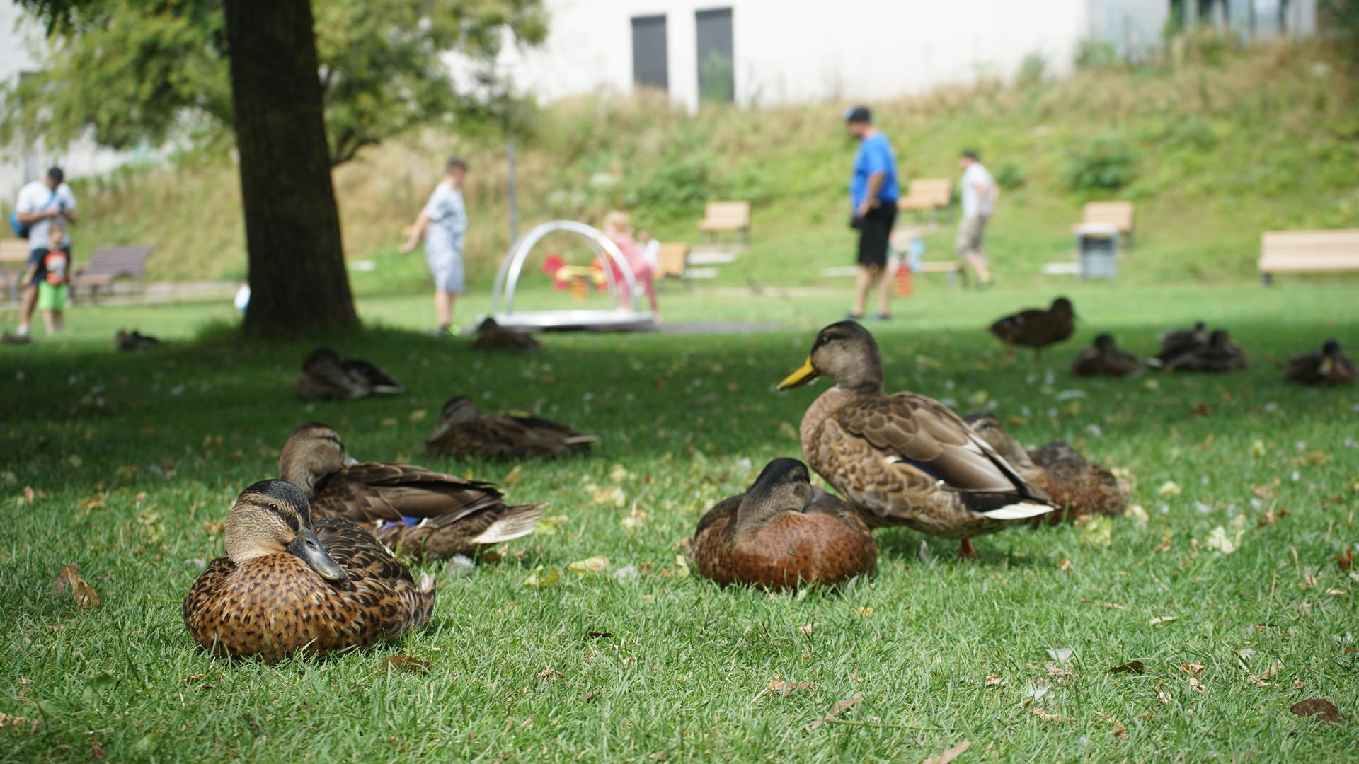 Mehrere Enten sitzen auf einer Wiese.