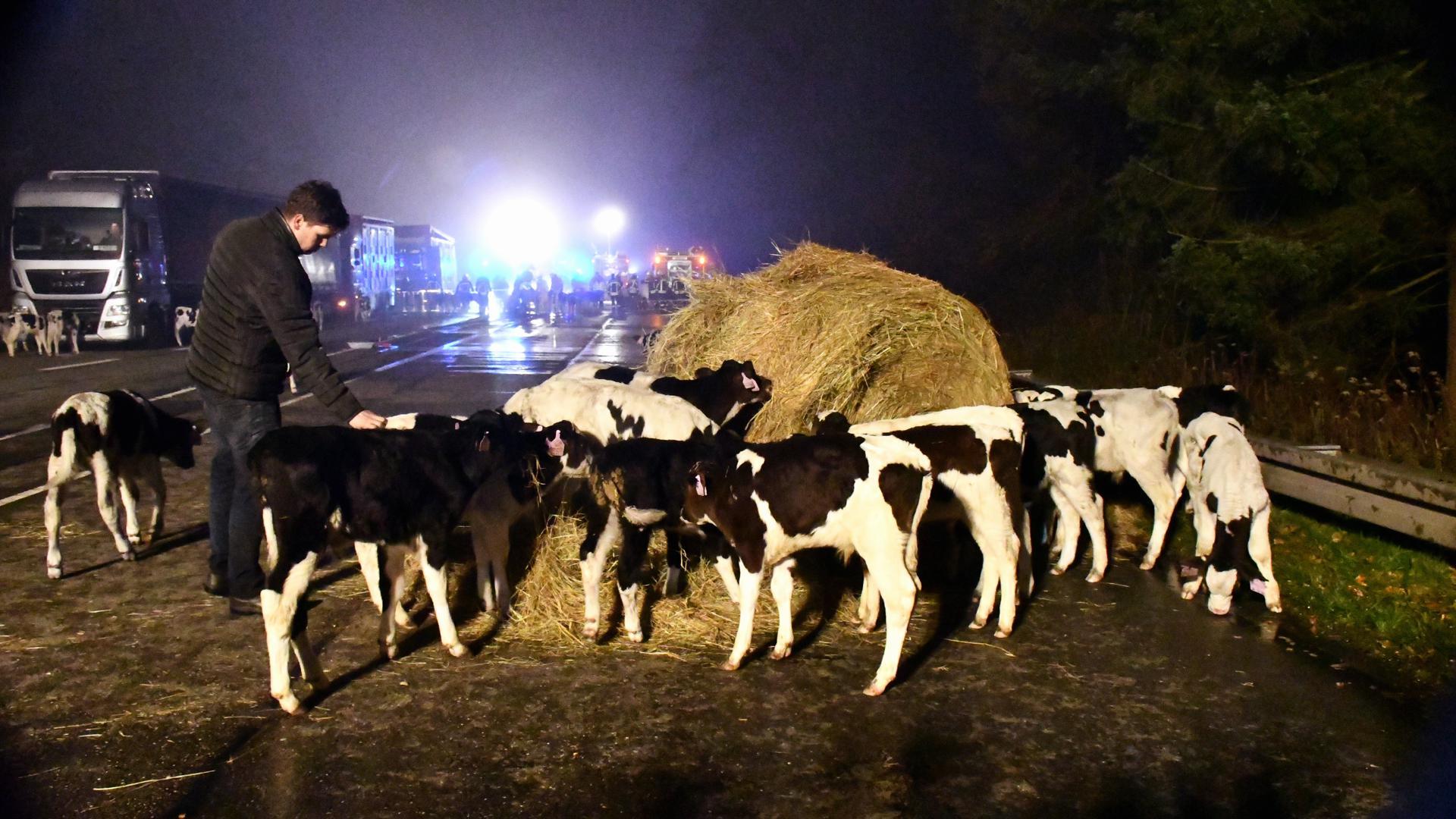 Kühe auf der B500 zwischen Baden-Baden und Iffezheim.