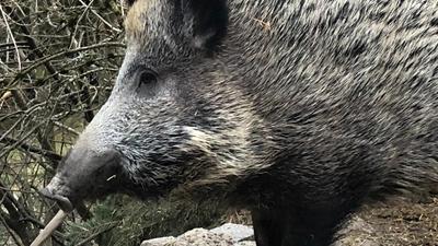 Ein Wildschwein von der Seite.