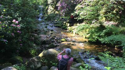 Das Archivbild zeigt die Rhododendron-Blüte am Geroldsauer Wasserfall.