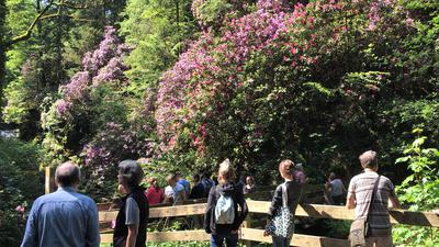 Rhododendron-Blüte Geroldsauer Wasserfall Wasserfälle Geroldsau Baden-Baden