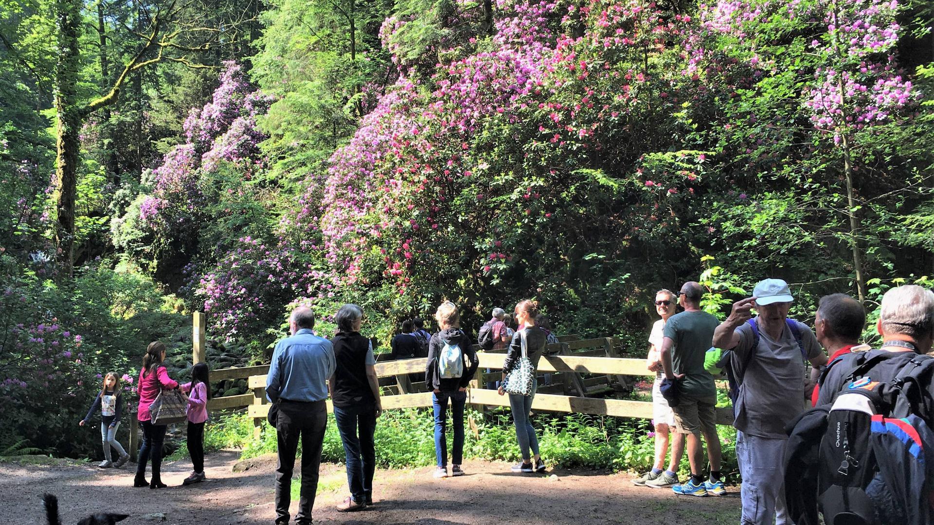 Zahlreiche Ausflügler bestauenen die Rhododendronblüte am Geroldsauer Wasserfall bei Baden-Baden.