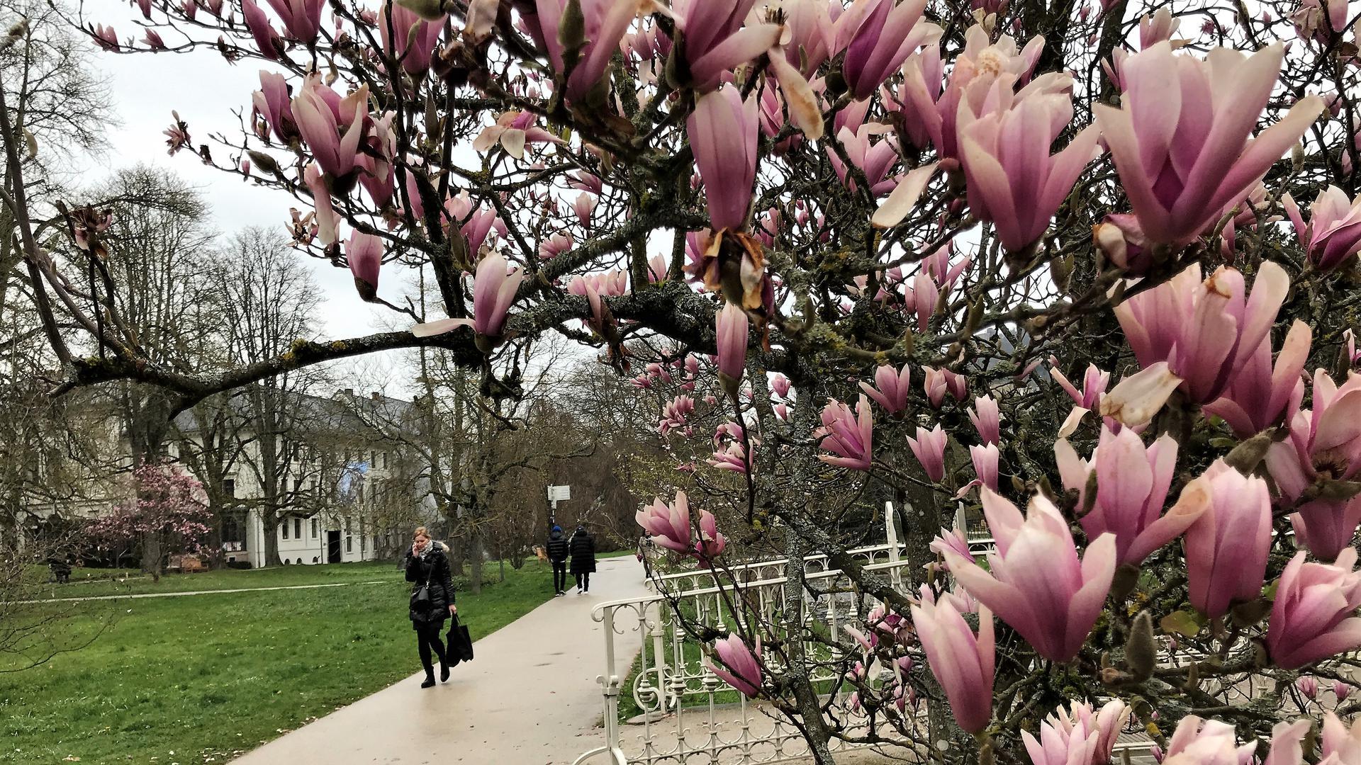 In der Lichtentaler Allee in Baden-Baden blühen auch nach der Frostperiode die Magnolien.
