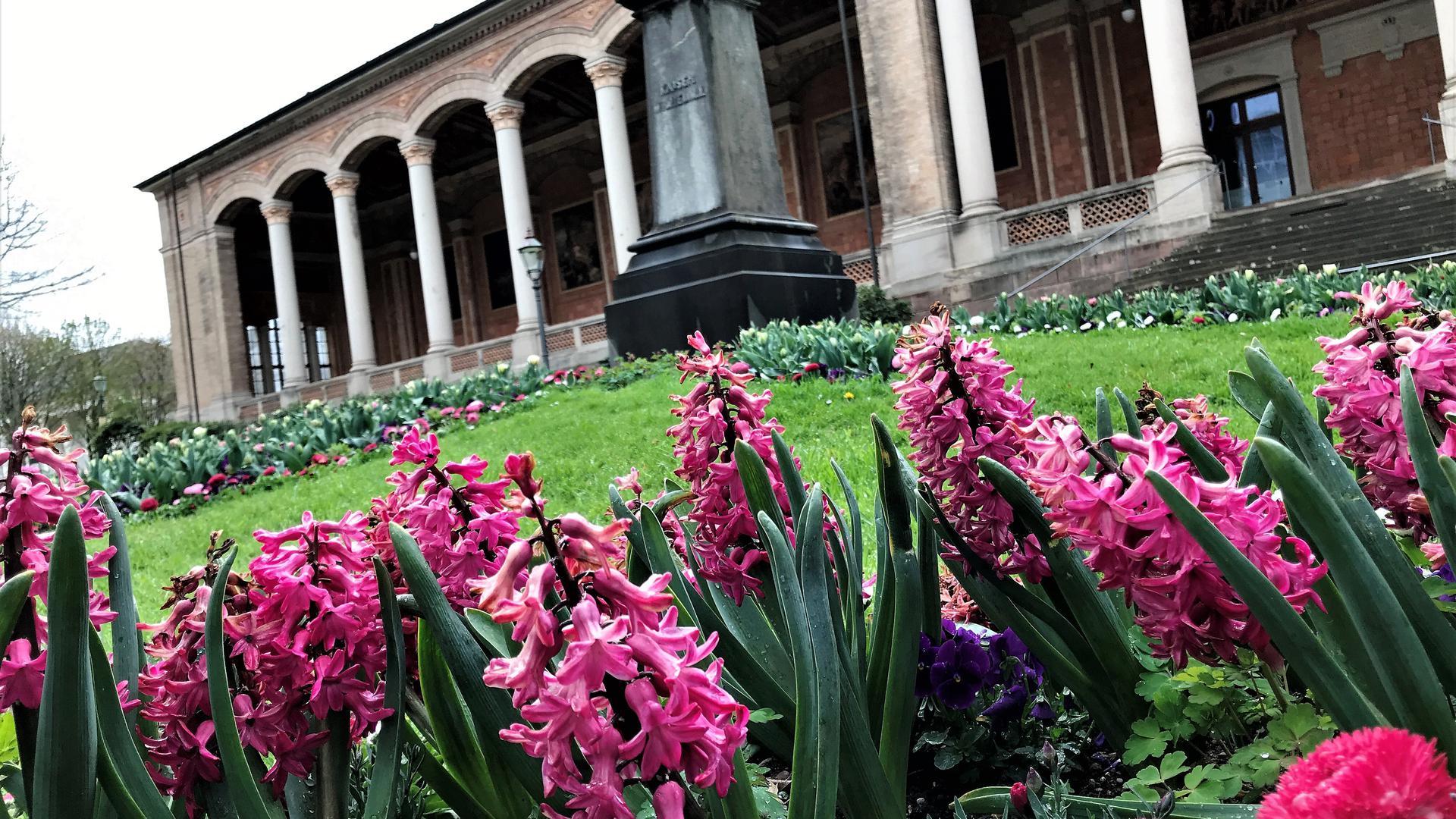 Vor der Trinkhalle Baden-Baden blühen auch nach dem Frost die Hyazinthen.