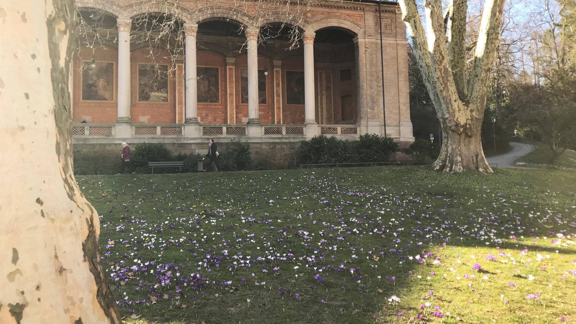 Vor der Trinkhalle in Baden-Baden blühen die Krokusse.
