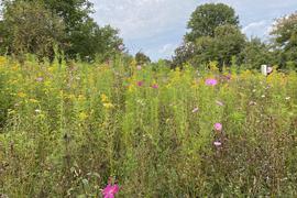 Der Obst- und Gartenbauverein Haueneberstein setzt sich dafür ein, dass auf mehr Wiesen und Grünstreifen mit Wildblumen angepflanzt werden.